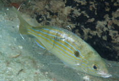 Pinfish benutzt für Köder lizenzfreie stockfotos