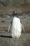 Pingà ¼ inos Papua en losu angeles półwysep Antartica Obrazy Royalty Free