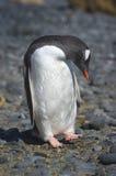 Pingà ¼ inos Papua en losu angeles półwysep Antartica Zdjęcie Royalty Free