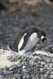 Pingà ¼ inos Papua en losu angeles półwysep Antartica Zdjęcia Stock