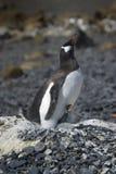 Pingà ¼ inos Papua en losu angeles półwysep Antartica Fotografia Royalty Free