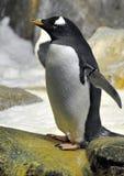 Pingüino Imágenes de archivo libres de regalías