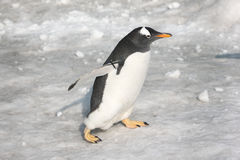 Pingüino Fotos de archivo libres de regalías