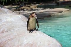 pingüino Imagen de archivo libre de regalías