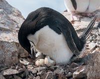 Pingüino adulto de Chinstrap con el polluelo y el huevo para incubar, península antártica imagen de archivo