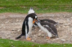 Pingüino adulto de Gentoo con el polluelo Foto de archivo libre de regalías