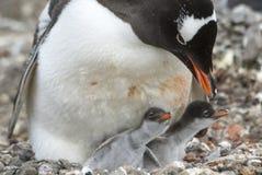 Pingüino adulto de Gentoo con el polluelo Fotografía de archivo libre de regalías