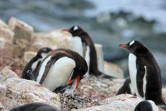 Pingüino adulto y joven del gentoo Imagen de archivo