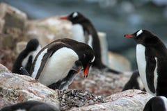 Pingüino adulto y joven del gentoo Imagenes de archivo