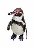 Pingüino africano Foto de archivo libre de regalías