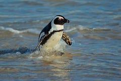 Pingüino africano Fotografía de archivo libre de regalías