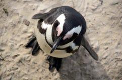 Pingüino africano fotos de archivo