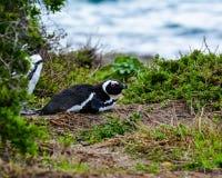 Pingüino africano de reclinación en la arena imagenes de archivo