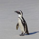 Pingüino africano (demersus del spheniscus) Fotos de archivo
