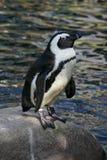 Pingüino africano (demersus del Spheniscus) Fotos de archivo libres de regalías