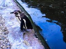 Pingüino africano en el lago fotografía de archivo