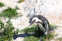 Pingüino africano en la playa Fotografía de archivo libre de regalías