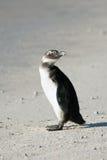 Pingüino africano no maduro en la playa Imagenes de archivo