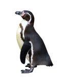 Pingüino aislado imagenes de archivo