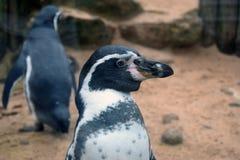 Pingüino aislado en el tanque Imagen de archivo libre de regalías