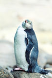 pingüino Amarillo-eyed imagen de archivo