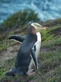 pingüino Amarillo-eyed fotografía de archivo libre de regalías