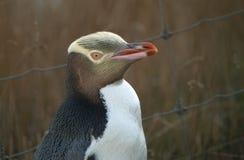pingüino Amarillo-eyed imagenes de archivo