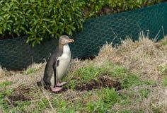 pingüino Amarillo-eyed fotografía de archivo