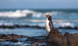 pingüino Amarillo-observado (contrarios) de Megadyptes, bahía del objeto curioso, Nueva Zelanda Fotos de archivo