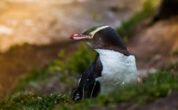 pingüino Amarillo-observado Nueva Zelanda Imagen de archivo libre de regalías