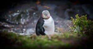 pingüino Amarillo-observado Nueva Zelanda Imágenes de archivo libres de regalías