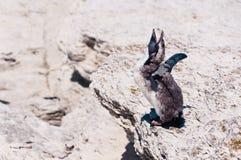 Pingüino Amarillo-observado que muda en el océano de Kaikoura en el fondo Fotografía de archivo libre de regalías