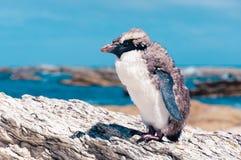 Pingüino Amarillo-observado que muda en el océano de Kaikoura en el fondo, Imagen de archivo libre de regalías