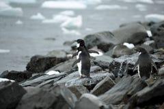 Pingüino Ant3artida de Adelie Imagen de archivo