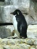 Pingüino Stock Photos
