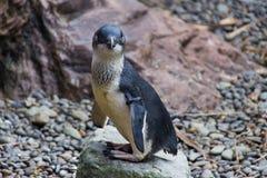 Pingüino azul Nueva Zelanda imagen de archivo