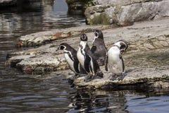 Pingüino con actitud Fotos de archivo
