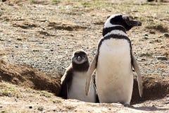 Pingüino con el polluelo Fotografía de archivo