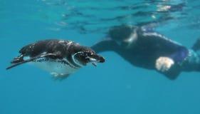 Pingüino curioso y Snorkeler Imágenes de archivo libres de regalías