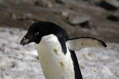 Pingüino de Adelie Fotografía de archivo libre de regalías
