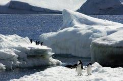 Pingüino de Adelie Foto de archivo