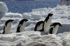 Pingüino de Adelie Imagen de archivo libre de regalías