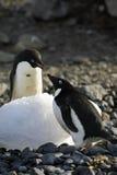 Pingüino de Adelie Imagen de archivo
