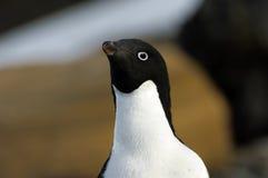 Pingüino de Adelie Fotos de archivo libres de regalías