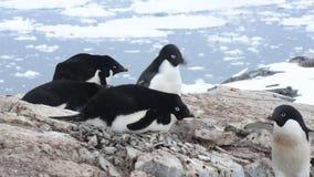 Pingüino de Adelie con el huevo