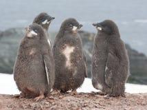 Pingüino de Adelie del jardín de la infancia. imagen de archivo