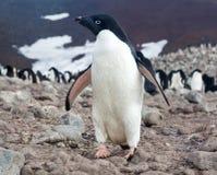 Pingüino de Adelie, la Antártida imagenes de archivo