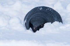 Pingüino de Adelie que ocultó del viento en la nieve Imágenes de archivo libres de regalías