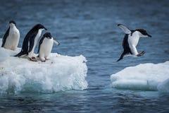 Pingüino de Adelie que salta entre dos masas de hielo flotante de hielo