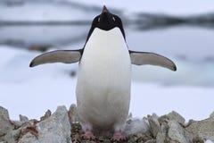 Pingüino de Adelie que se coloca cerca de la jerarquía Foto de archivo libre de regalías